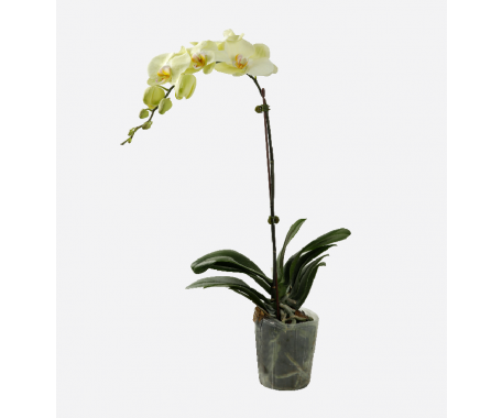 Phalaenopsis Single Stem
