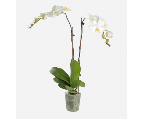 Phalaenopsis Double Stem