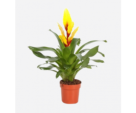 Vriesea Yellow - Flaming Sword