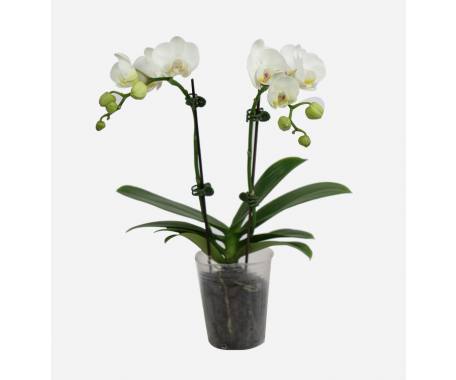 Phalaenopsis Double Stem - Mini