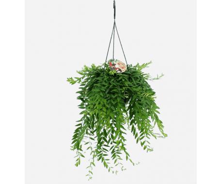 Aeschynanthus - Lipstick Plant