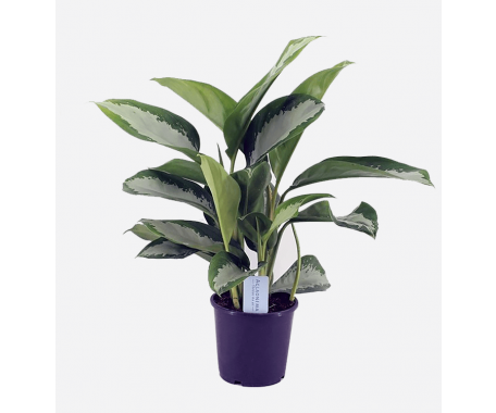 Aglaonema Diamond Bay - Chinese Evergreen