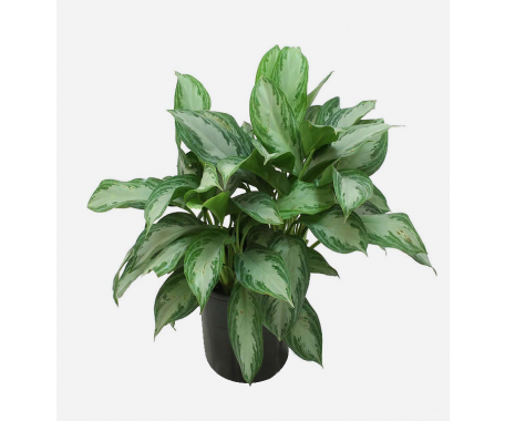 Aglaonema Silver Bay - Chinese Evergreen