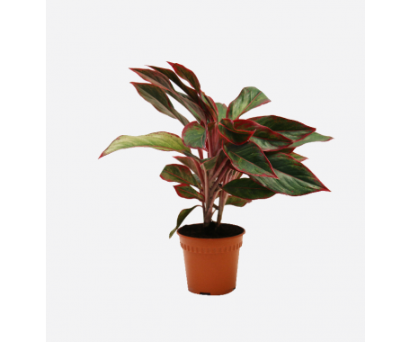 Aglaonema Mix - Chinese Evergreen