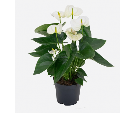 Anthurium White - Tail Flower