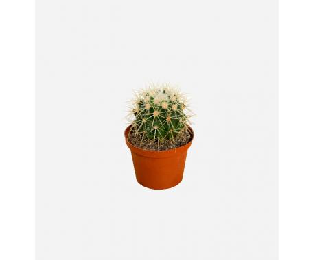 Cactus Grusonii - Barrel Cactus