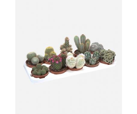 Cactus Medium