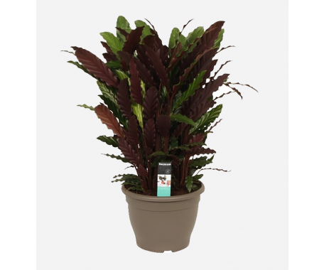Calathea Mix - Peacock Plant