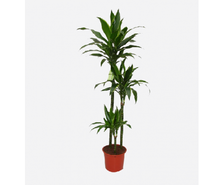 Dracaena Art 3PP - Dragon Plant