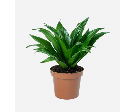 Dracaena Compacta Green Head - Dragon Plant