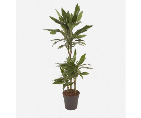 Dracaena Janet Craig 3PP - Dragon Plant