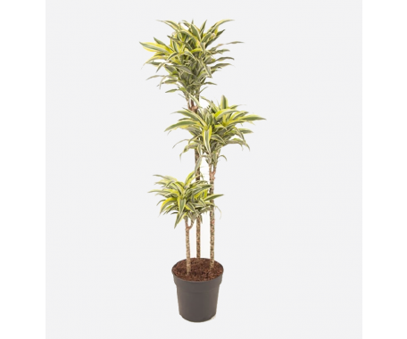 Dracaena Lemon Lime 3PP - Dragaon Plant
