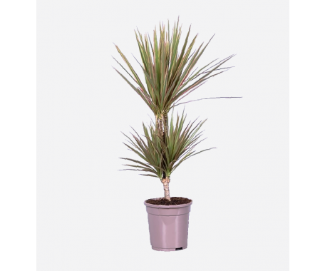 Dracaena Marginata Bicolor 2PP - Dragon Plant