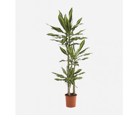 Dracaena Massangeana 3PP - Dragon Plant