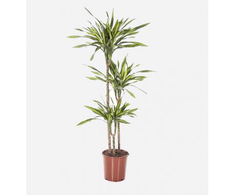 Dracaena Rikki 3PP - Dragon Plant