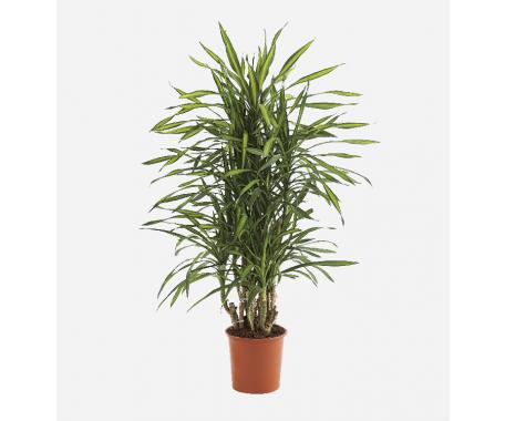 Dracaena Rikki Branched - Dragon Plant