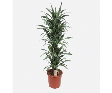 Dracaena Ulises Branched - Dragon Plant