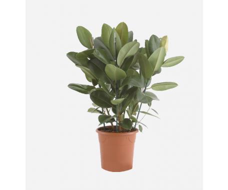 Ficus Elastica Robusta - India Rubber Plant