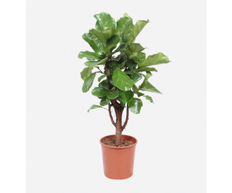 Ficus Lyrata Branched