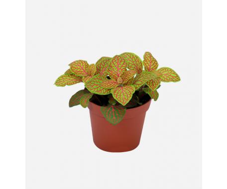 Fittonia - Mosaic Plant