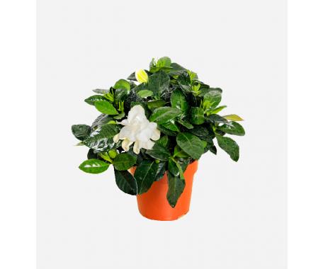 Gardenia Jasminoides - Cape Jasmine