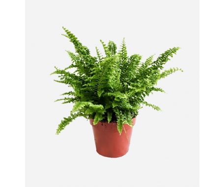 Nephrolepsis - Boston Fern
