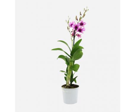 Orchid Dendrobium - Nobile Dendrobium