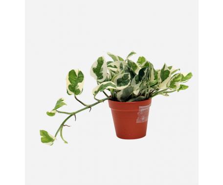 Scindapsus White Variegated - Money Plant